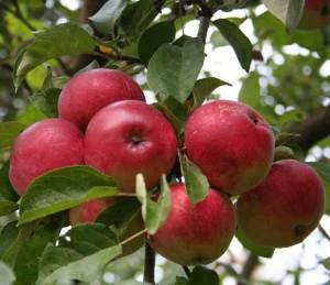 яблонька с плодами